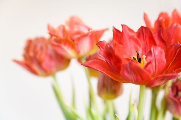 Whithering tulips