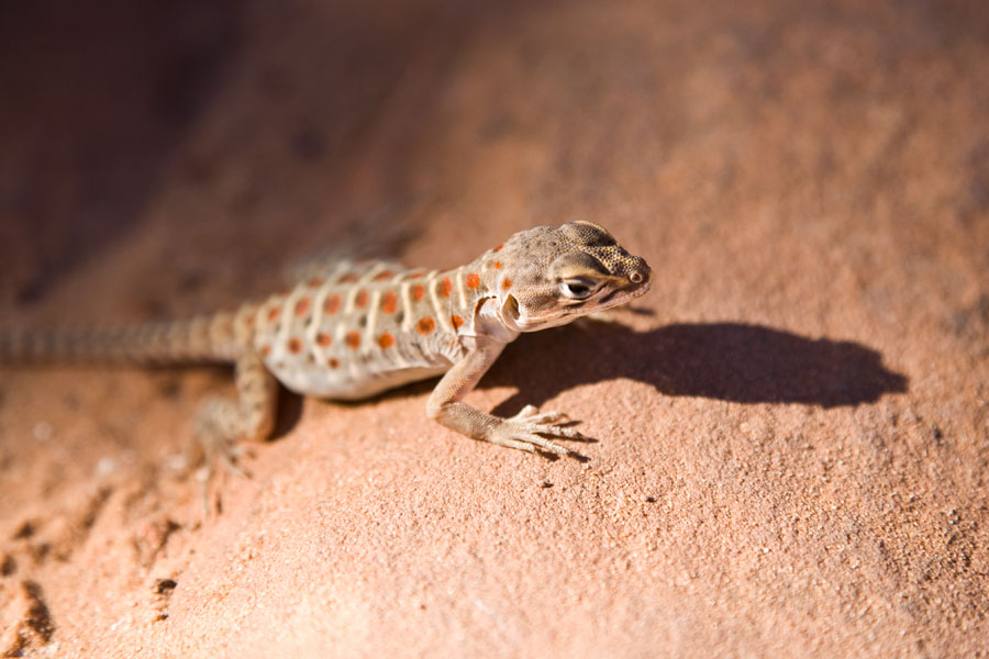Arches National Park - Lizard