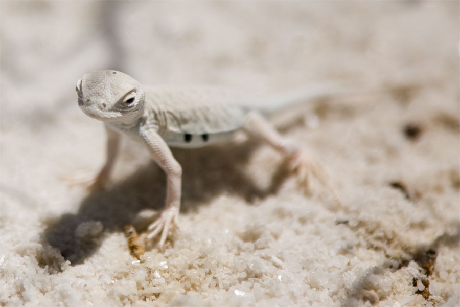 Lizard, White Sands, New Mexico