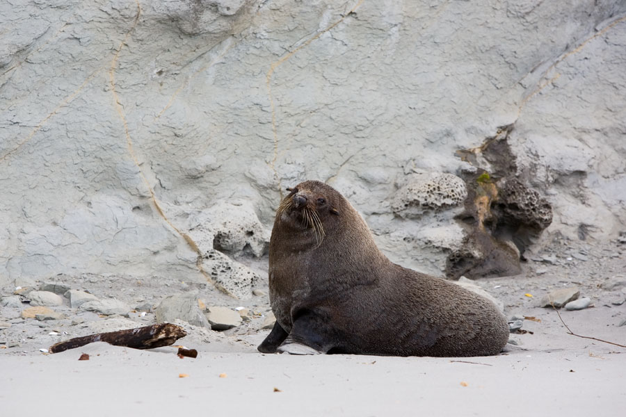 Seal posing in front of fossils at Fossil Point