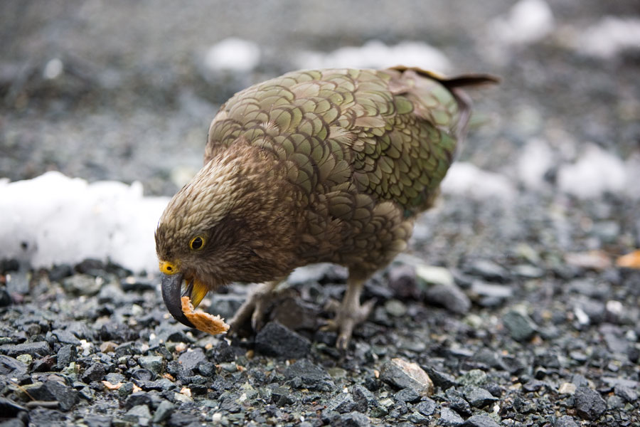 Kaka bird, Milford Sound