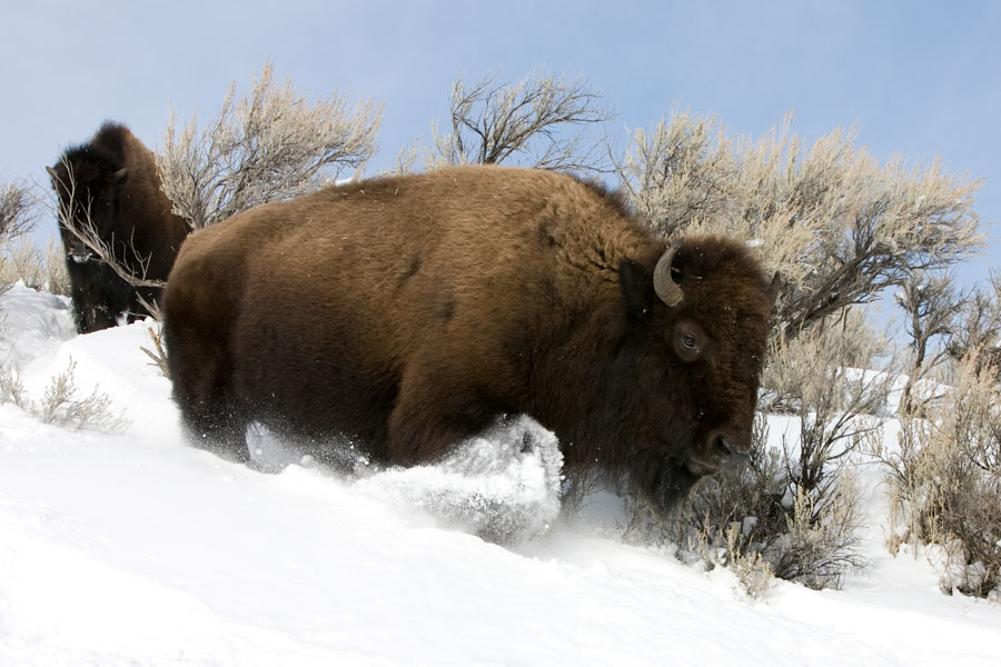 Snow bison II