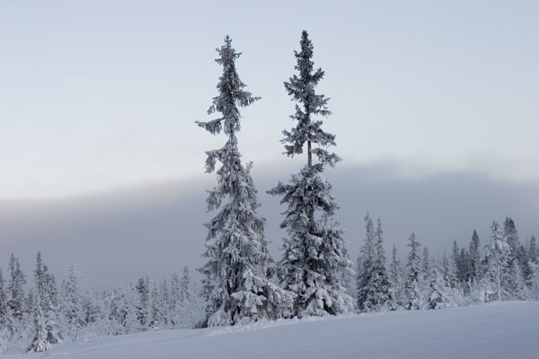 Trees in Trysil (Norway)