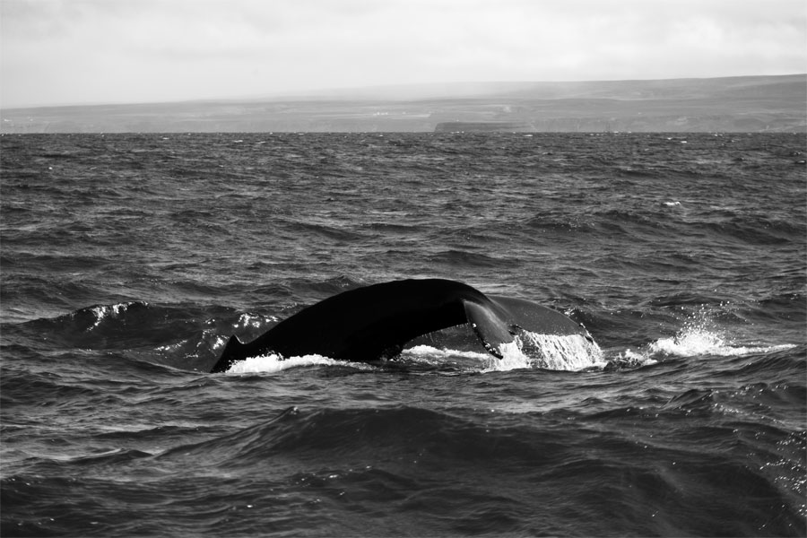 Iceland - Sperm whale